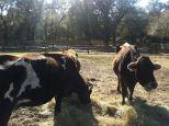 Cow2_Middleton