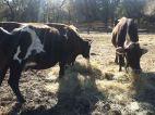 Cow3_Middleton