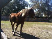 Stallion_Middleton