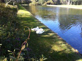 Swan_Middleton
