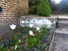 Tulips_Middleton
